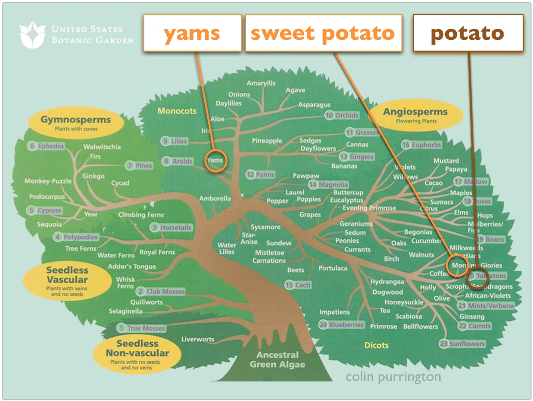 Yams and sweet potatoes