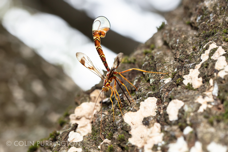 Long-tailed giant ichneumonid wasp (Megarhyssa macrurus)
