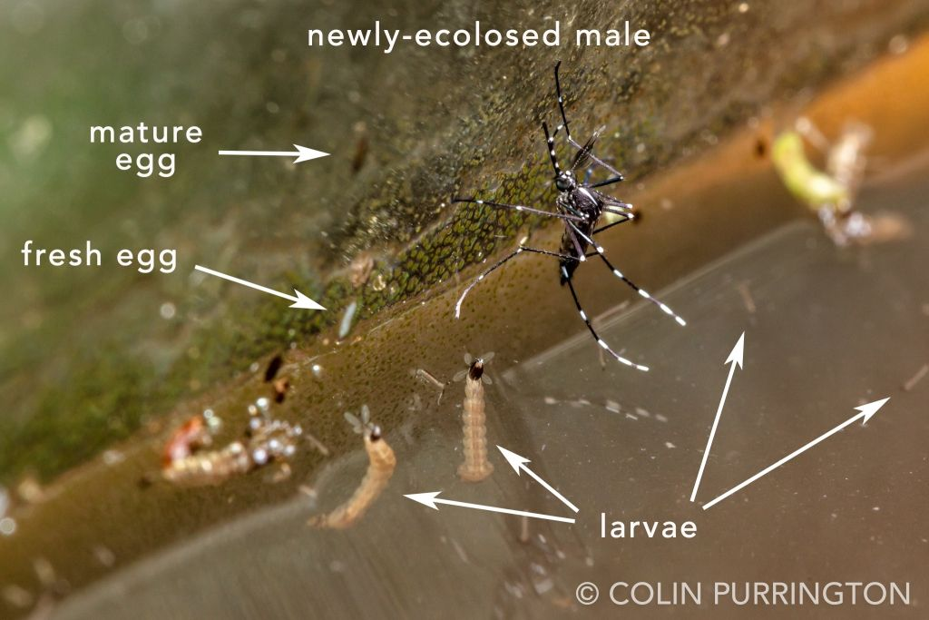 Male Asian tiger mosquito (Aedes albopictus) with larvae