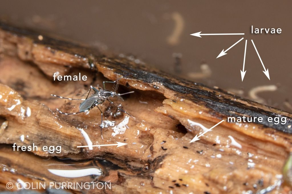 Female Asian tiger mosquito (Aedes albopictus) with larvae and eggs