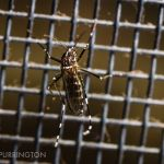 Asian tiger mosquito (Aedes albopictus) on window screen
