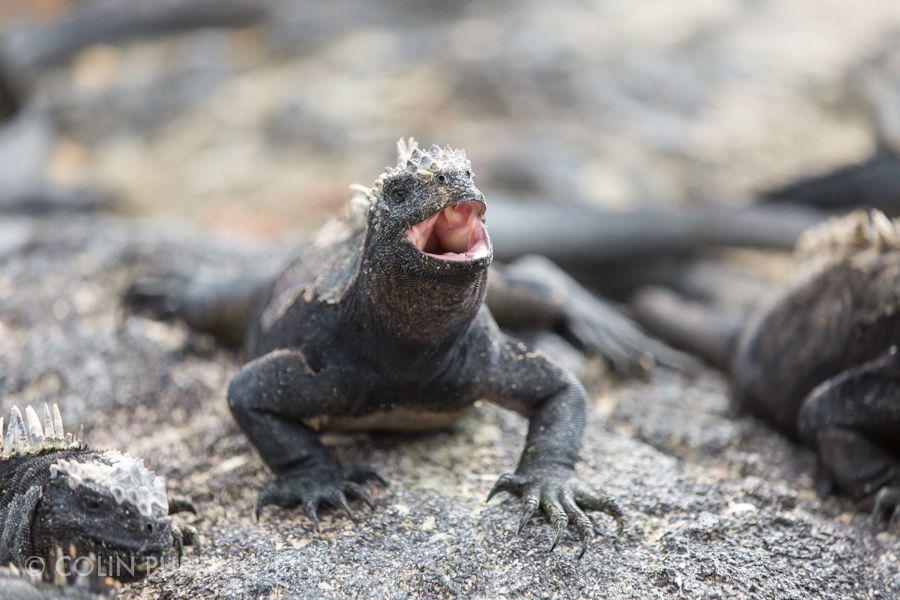 yawning marine iguana