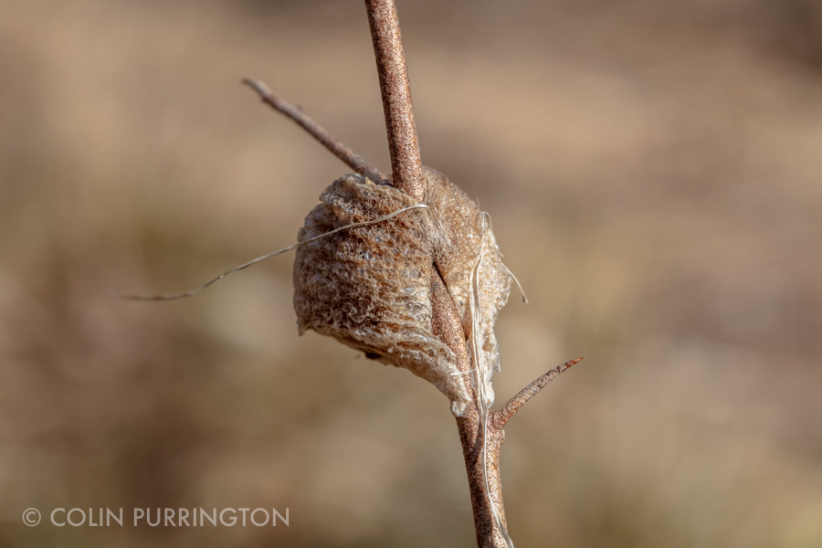 Egg case of Chinese mantid (Tenodera sinensis)