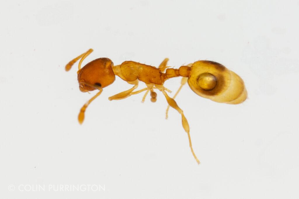 Temnothorax sp. (acorn ant)