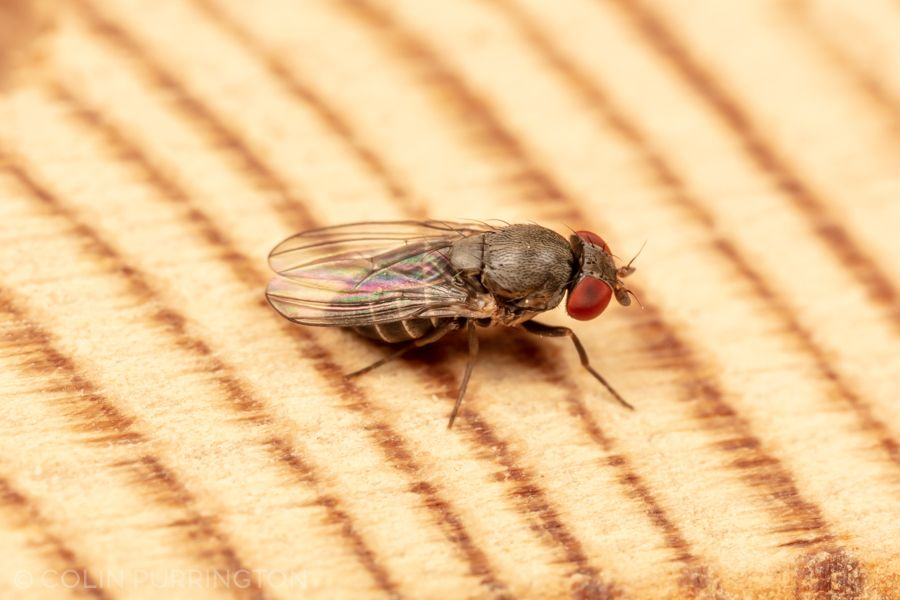 Houdini fly (Cacoxenus indagator)