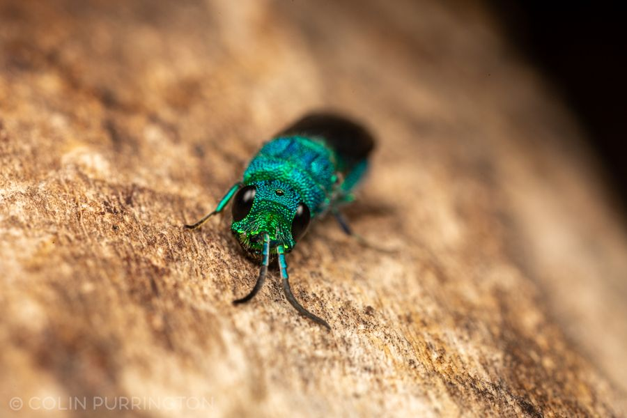 cuckoo wasp (Chrysis sp.)