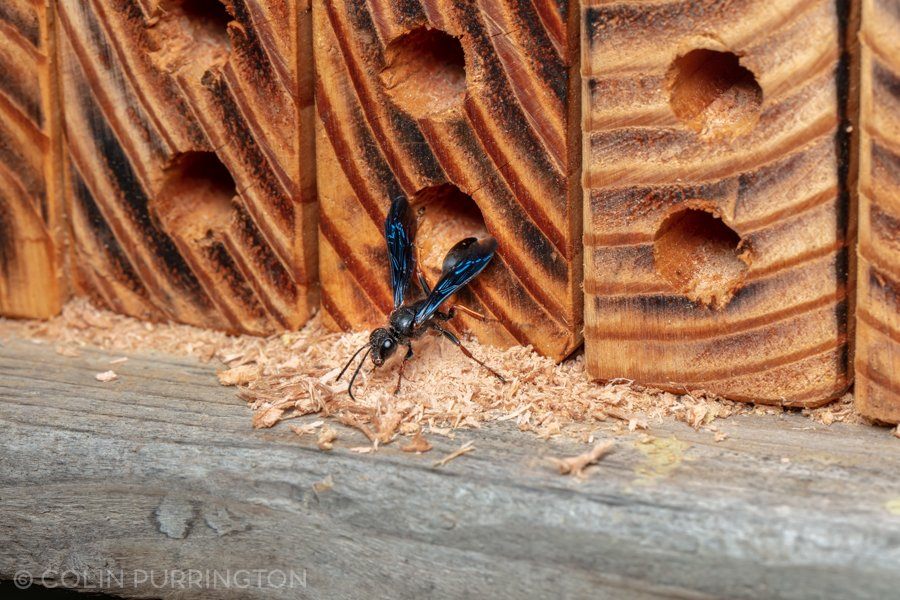 Brown-legged grass-carrying wasp (Isodontia auripes)