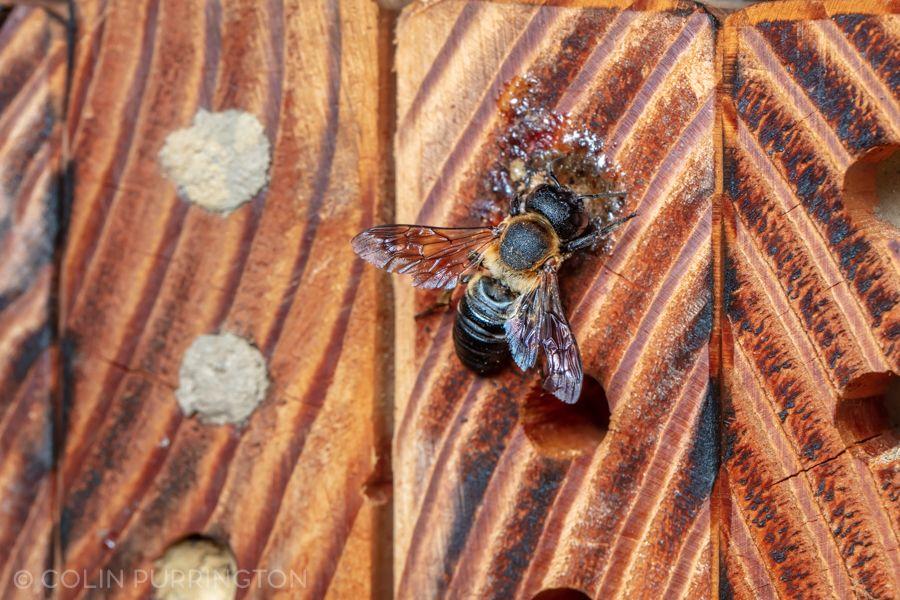 Giant resin bee (Megachile sculpturalis)