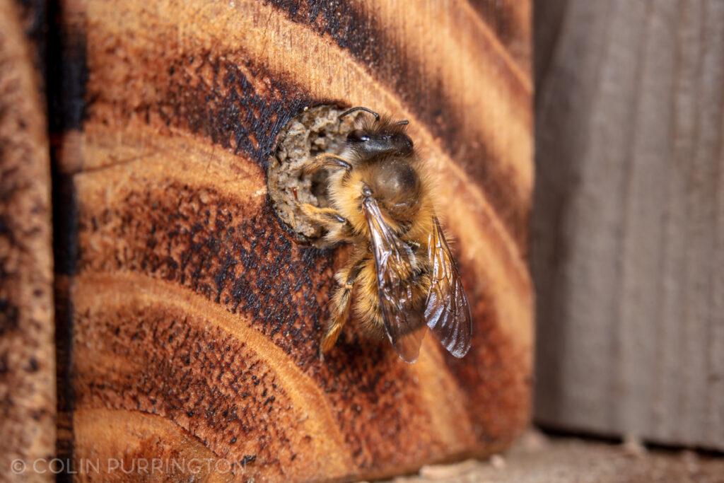 Taurus mason bee (Osmia taurus)