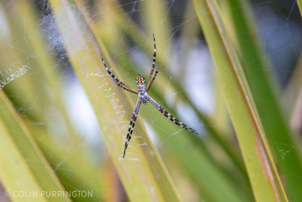 Juvenile Florida garden spider (Argiope florida)