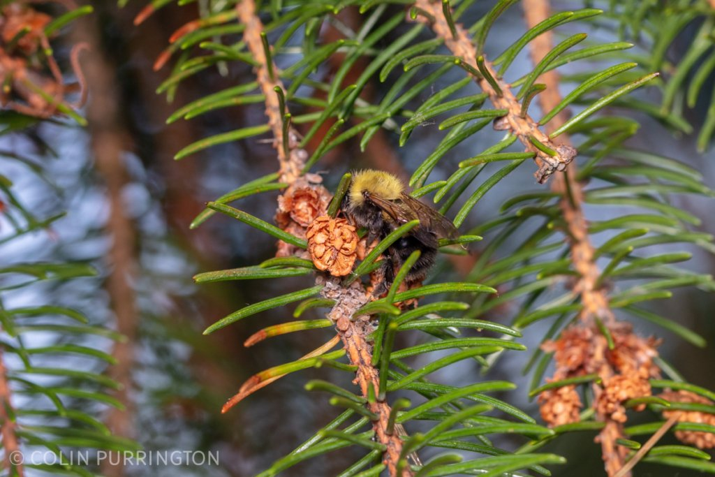 Bumble bee (Bombus sp.) collecting aphid honeydew on a spruce tree