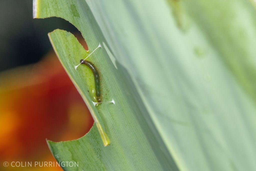 Caterpillar of Brazilian skipper (Calpodes ethlius) on canna lily (Canna sp.)