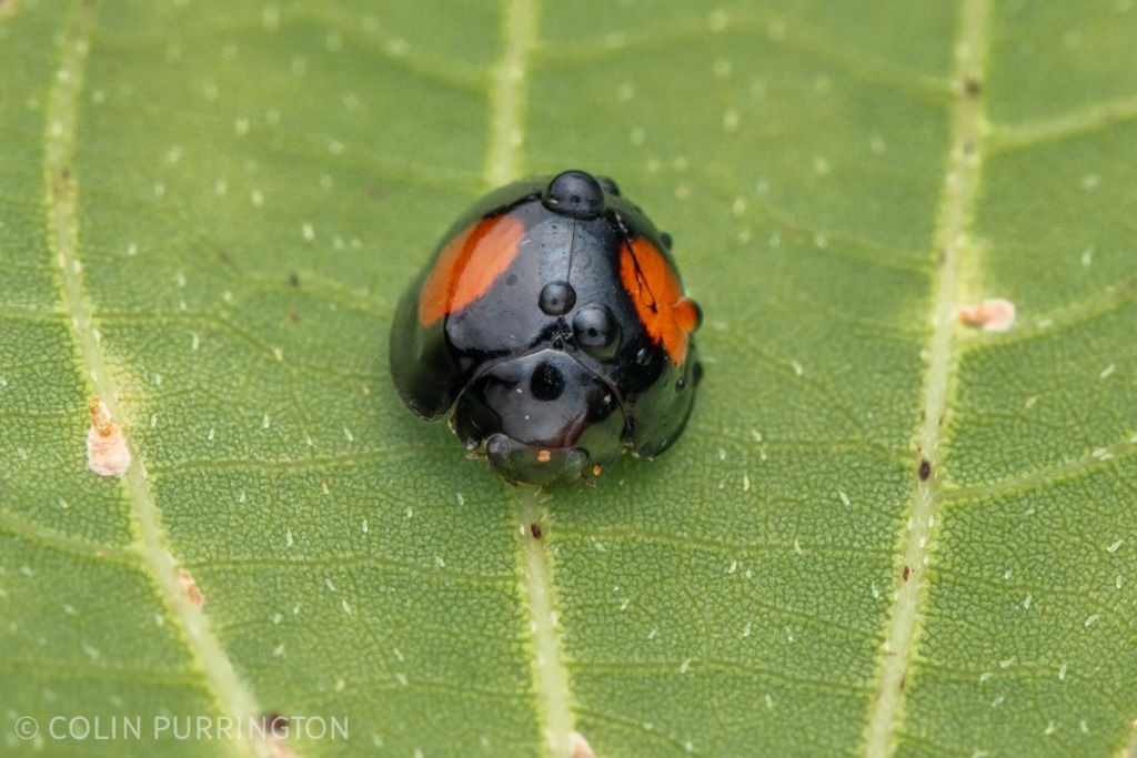 Twice-stabbed lady beetle (Genus Chilocorus sp.)
