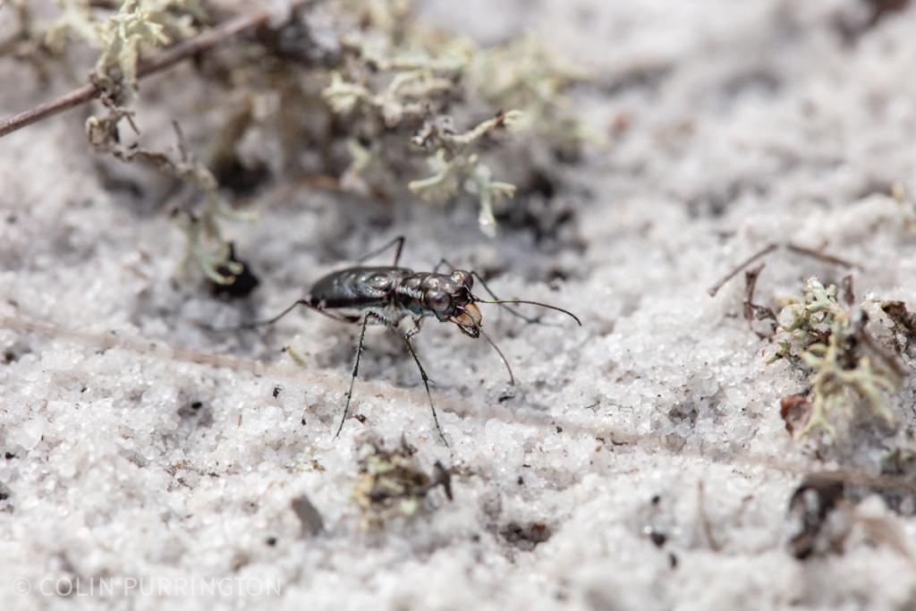 Scabrous tiger beetle (Cicindela scabrosa)