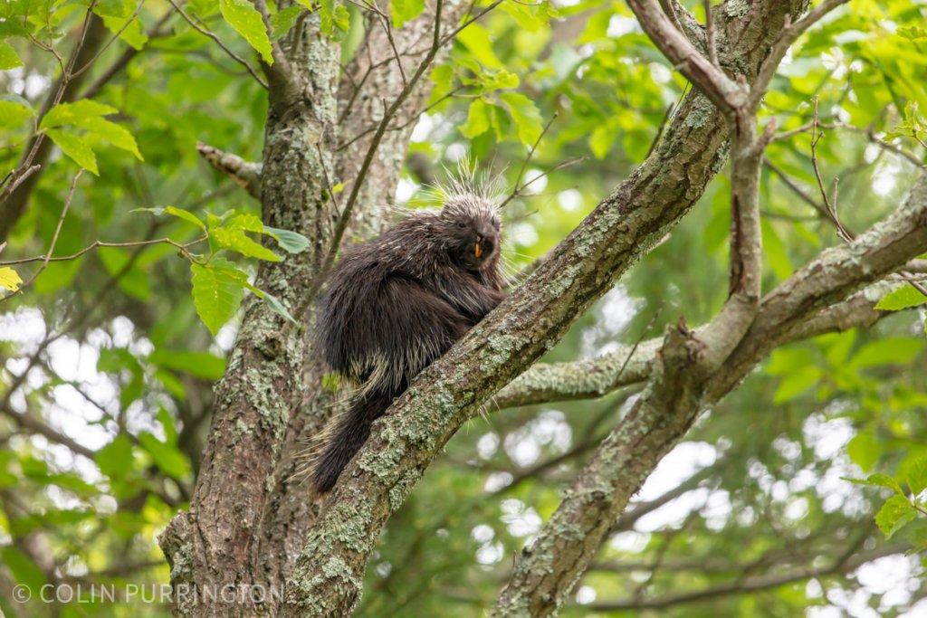 North American porcupine (Erethizon dorsatum) in a tree