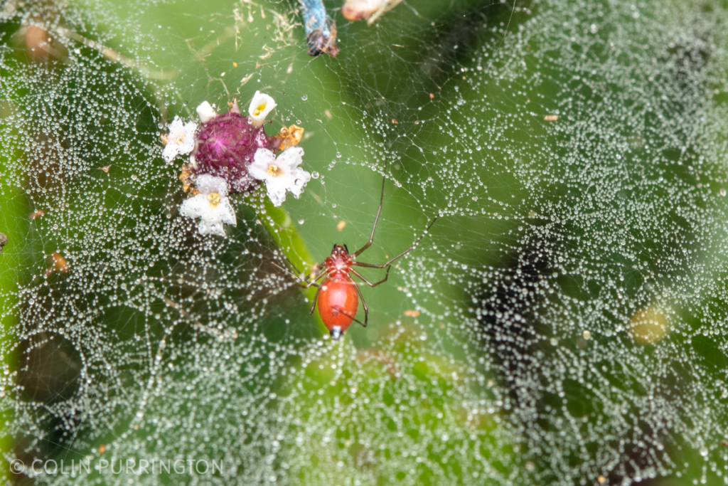 Black-tailed red sheetweb spider (Florinda coccinea)