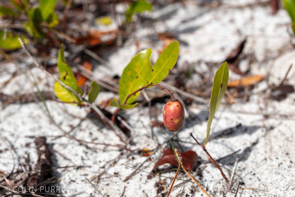 Gopher apple (Geobalanus oblongifolius)