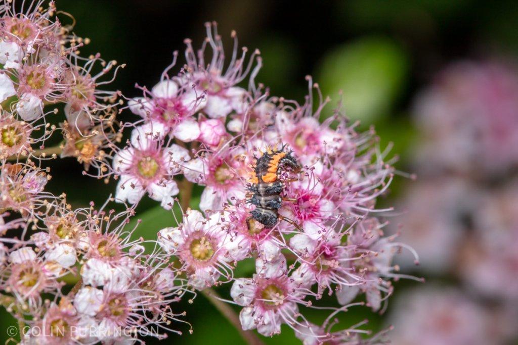 Multicolored Asian lady beetle (Harmonia axyridis) larva eating a flower