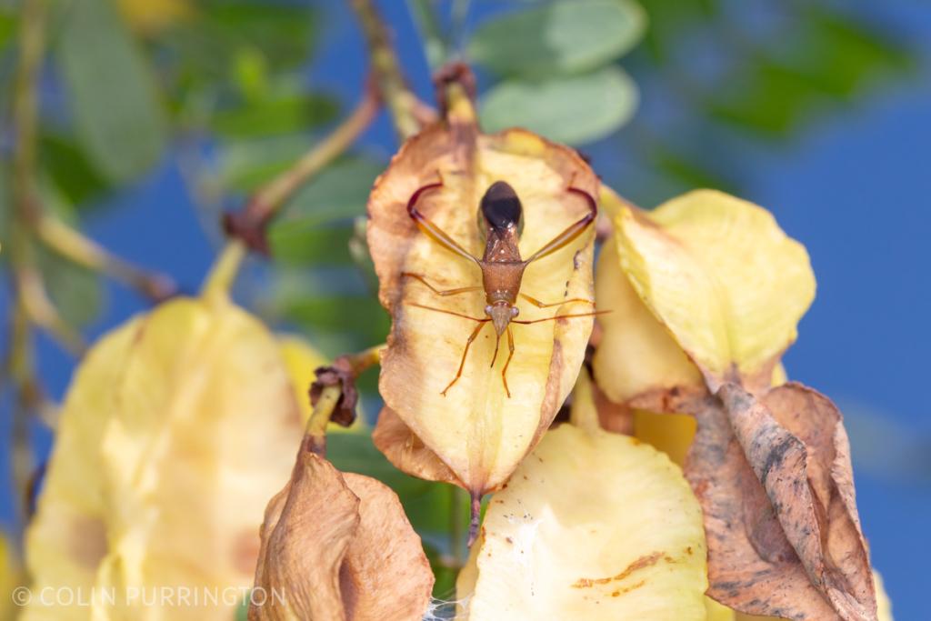 Hyalymenus sp. feeding on scarlet sesbane (Sesbania punicea) fruit