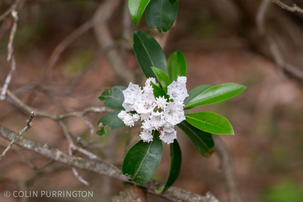 Mountain laurel (Kalmia latifolia) in flower