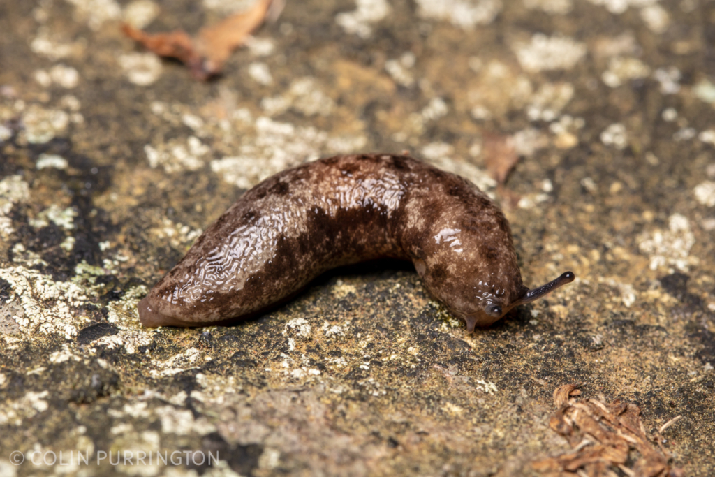 Changeable mantleslug (Megapallifera mutabilis)