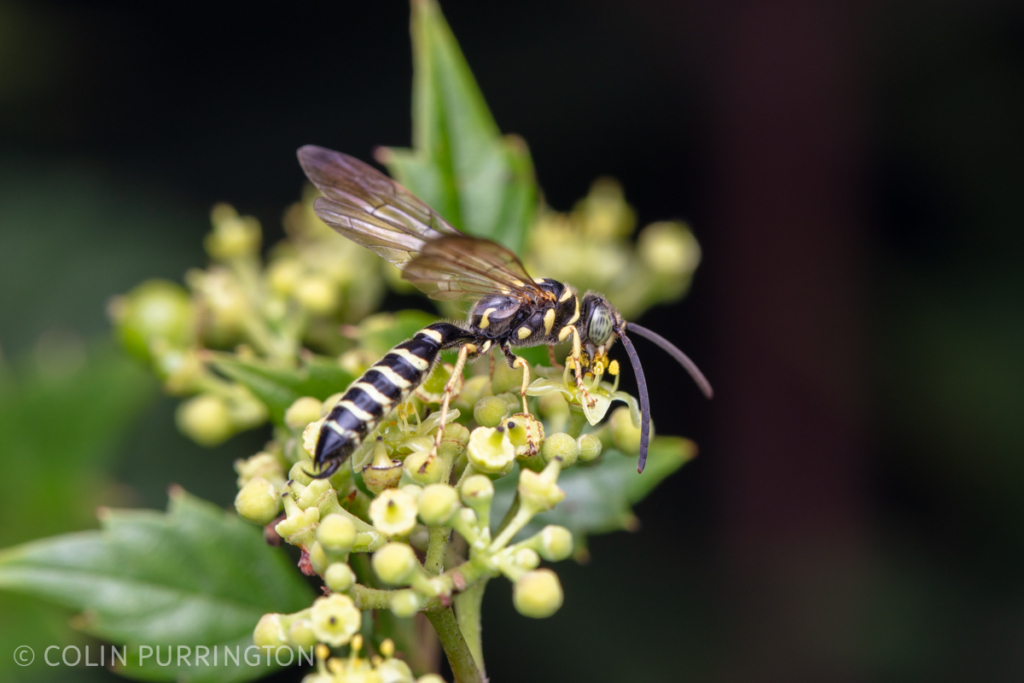 New World banded Thynnid wasp (Myzinum sp.)