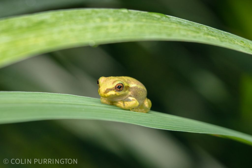 Juvenile Cuban tree frog (Osteopilus septentrionalis) on lemongrass