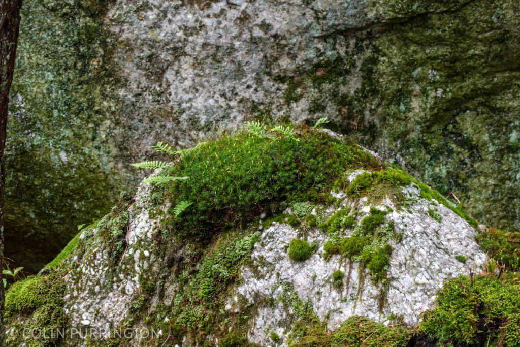 Haircap moss (Polytrichaceae)