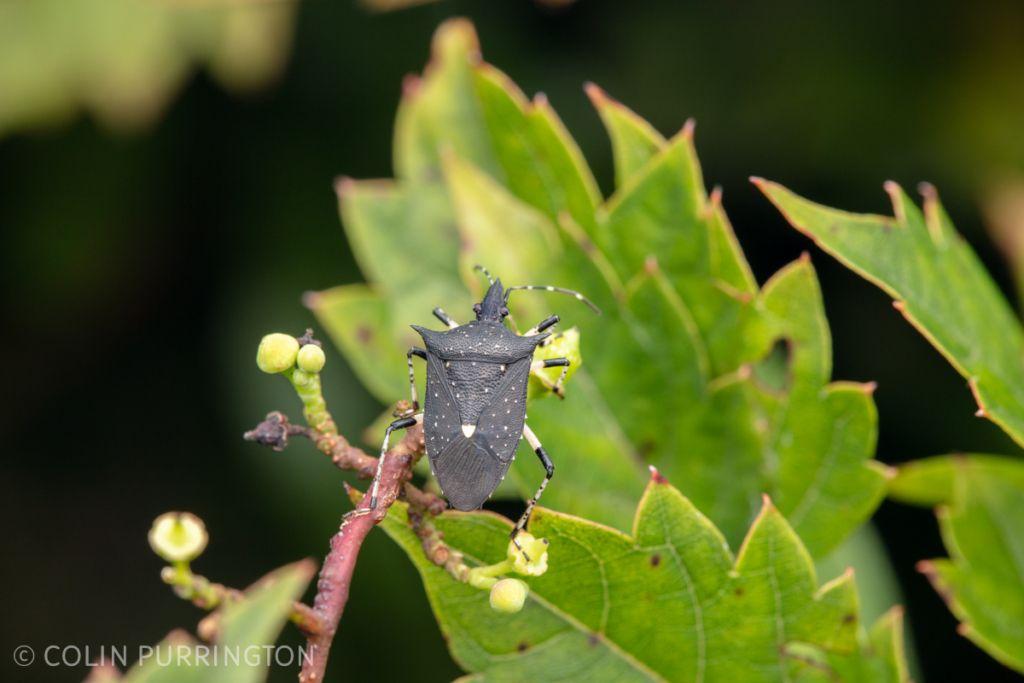 Black stink bug (Proxys punctulatus)