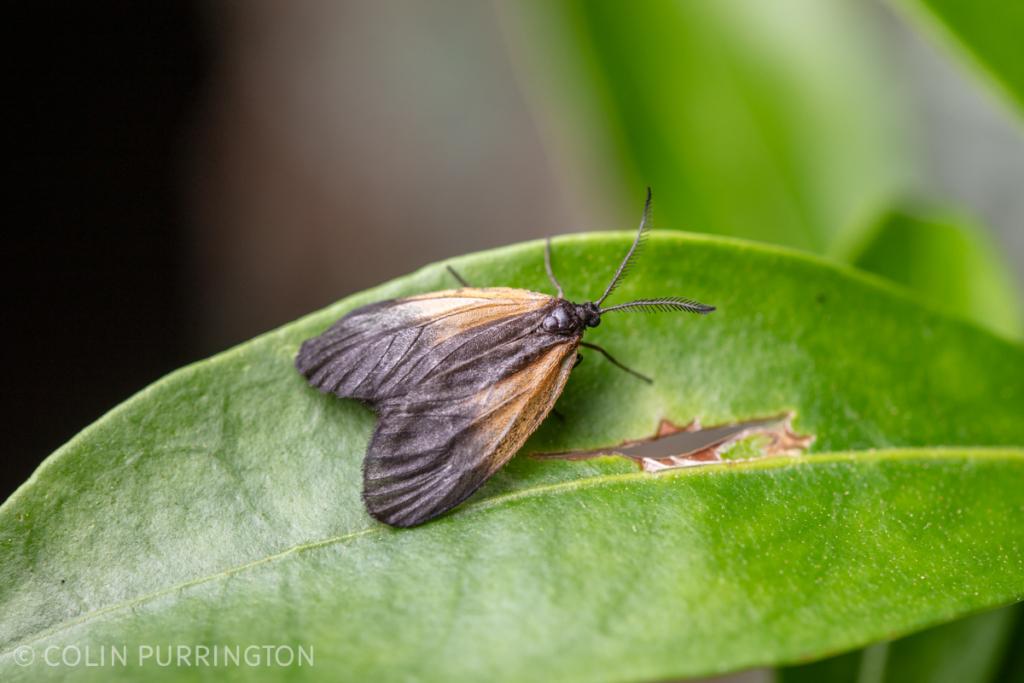 Orange-patched smoky moth (Pyromorpha dimidiata) on a leaf
