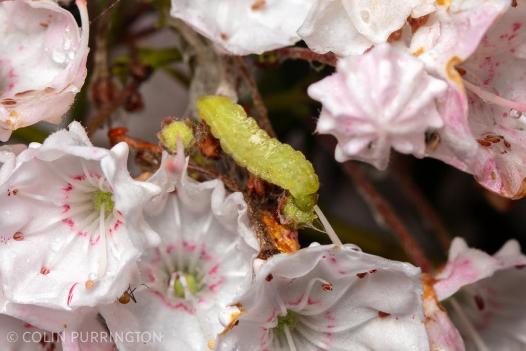 Striped hairstreak (Satyrium liparops) caterpillar