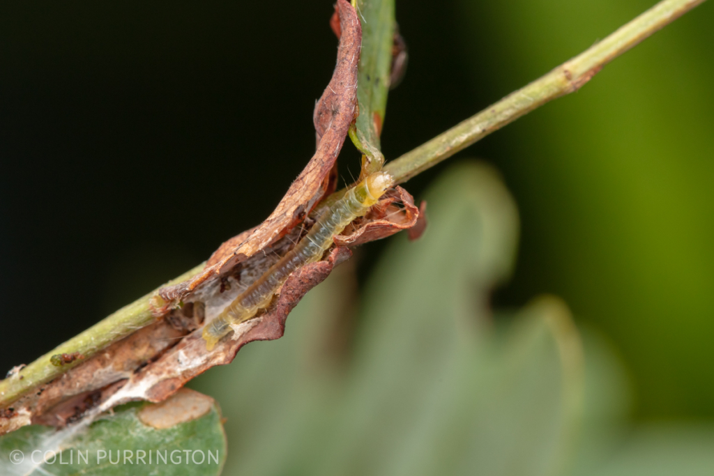 Caterpillar in retreat constructed on scarlet Sesbania (Sesbania punicea)